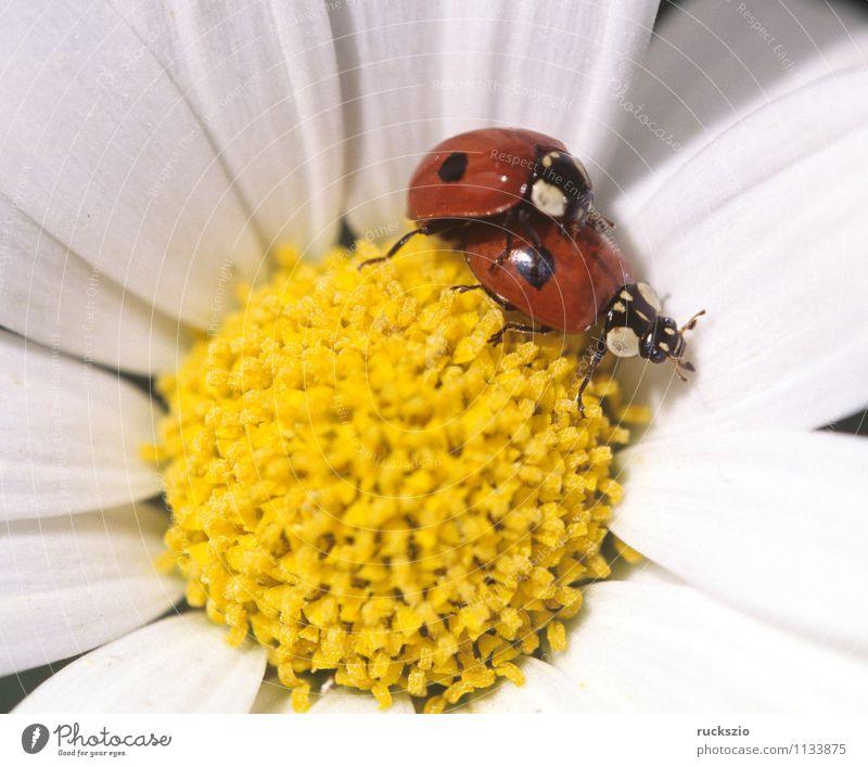 Marienkaefer, Paarung, Coccinella, semptempunctata, Natur Tier Blüte Wiese Wildtier Käfer gelb rot weiß Marienkäfer Fortpflanzung making 7-Punkt Insekt