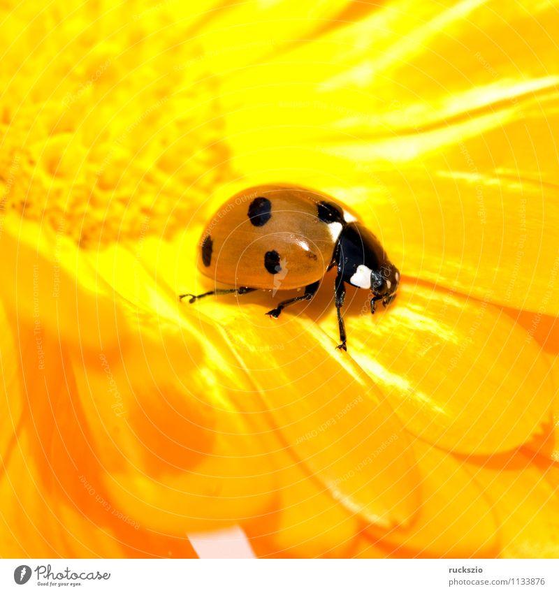 Marienkaefer, Coccinella, semptempunctata, Natur rot Tier schwarz gelb Hintergrundbild Wildtier Punkt Insekt Stillleben Fressen Käfer Marienkäfer Schlag