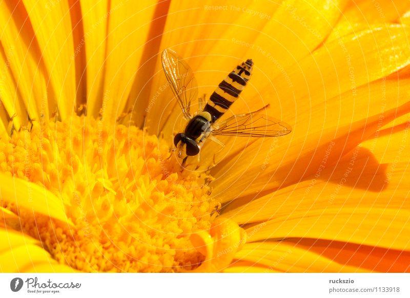 Schwebfliege, Ringelblume, calendula, officinalis Natur Tier Blume Blüte Garten Fliege Fressen Scaeva pyrastri Zweifluegler Diptera Insekt ZweiflŸgler Diptera