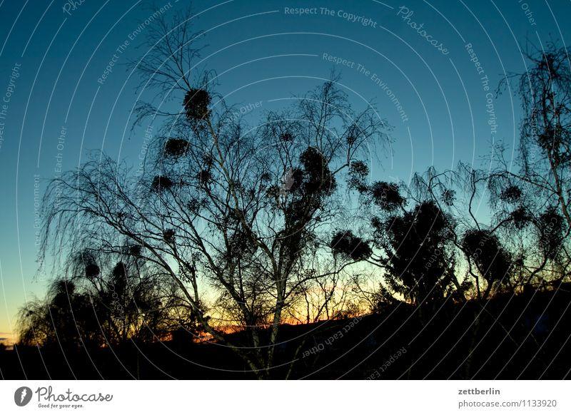Misteln am Abend Himmel Himmel (Jenseits) Farbe Sommer Baum Frühling Berlin Hintergrundbild Textfreiraum Ast Dach Baumstamm Zweig Wolkenloser Himmel