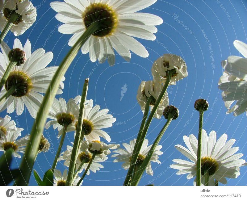 Bodenperspektive Blüte weiß Blütenblatt Wiese Wiesenblume Stengel gekrümmt margaritten margariten Himmel blau Bodenbelag Garten Perspektive Rosengewächse