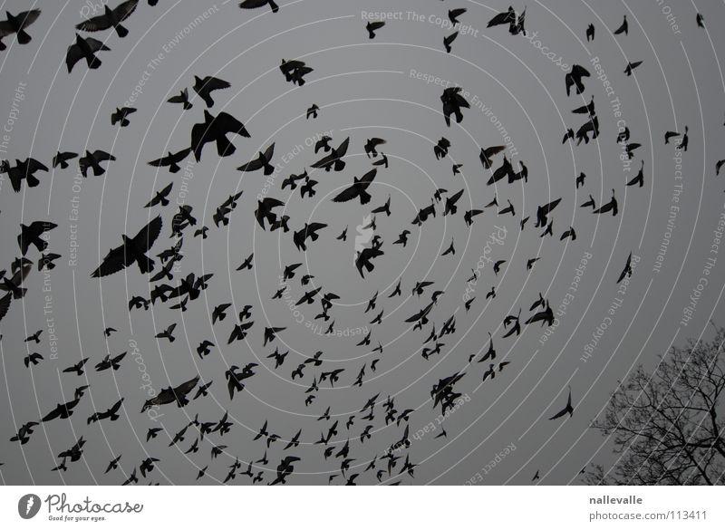 die vögel November Winter kalt grau schwarz weiß Vogel Taube Krähe Baum Schwarm raaben Himmel Luftverkehr fliegen mehrere Schatten silhoueten