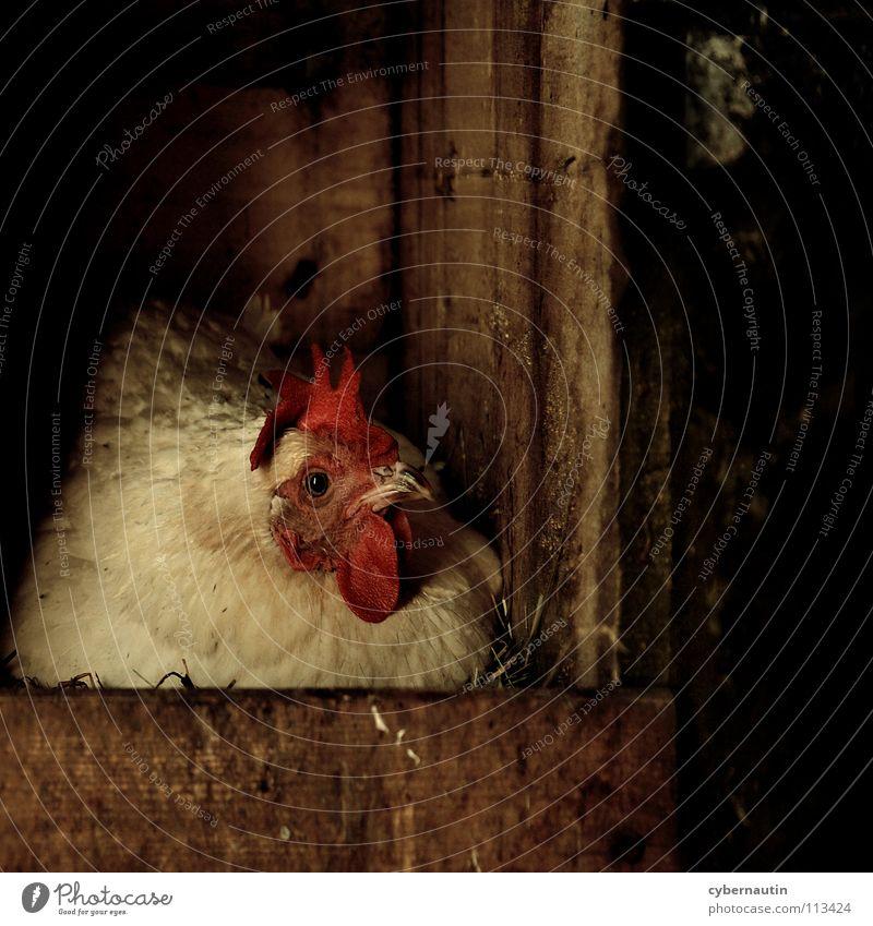 Henne Haushuhn Brutpflege liegen Nest Stroh Hühnerstall Bauernhof Tierschutz passend Ei Holzverschlag Bioprodukte artgerecht