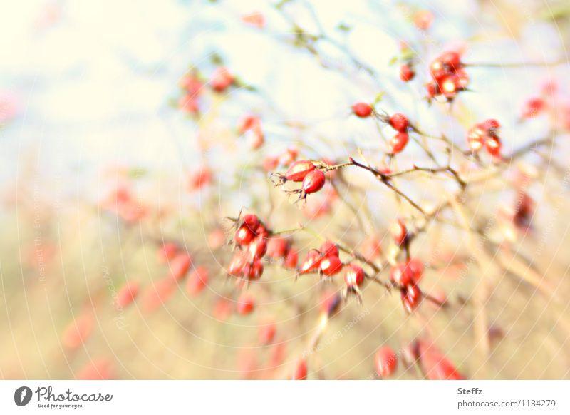 alle meine Beeren Natur Pflanze Herbst Sträucher Rose Wildpflanze Beerensträucher Hagebutten Zweig Zweige u. Äste gelb rot unruhig Eindruck rotgelb