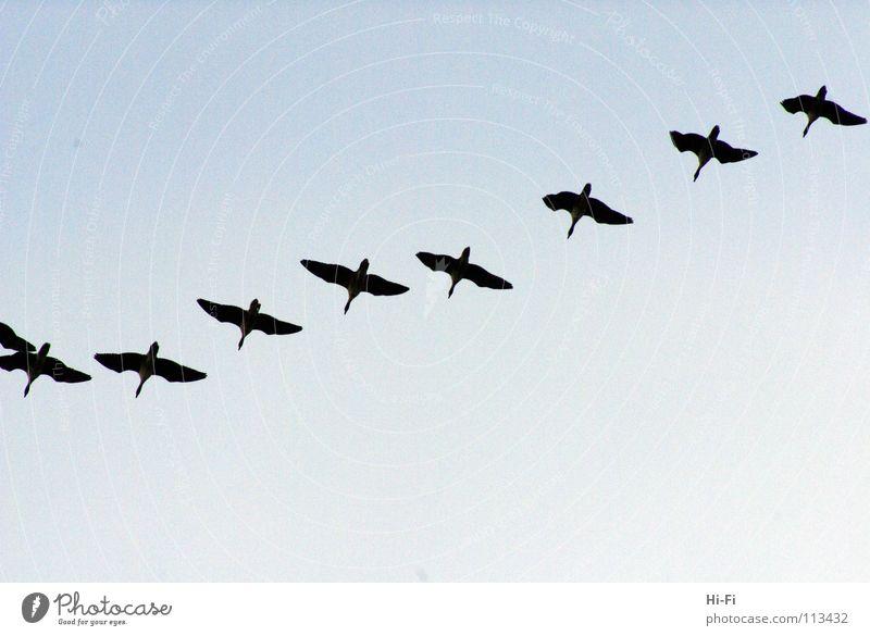 Zugvögel Himmel Winter Luft Vogel fliegen Ente Schweben Gans Tier überwintern Formation sparsam Führer synchron Zugvogel gruppieren