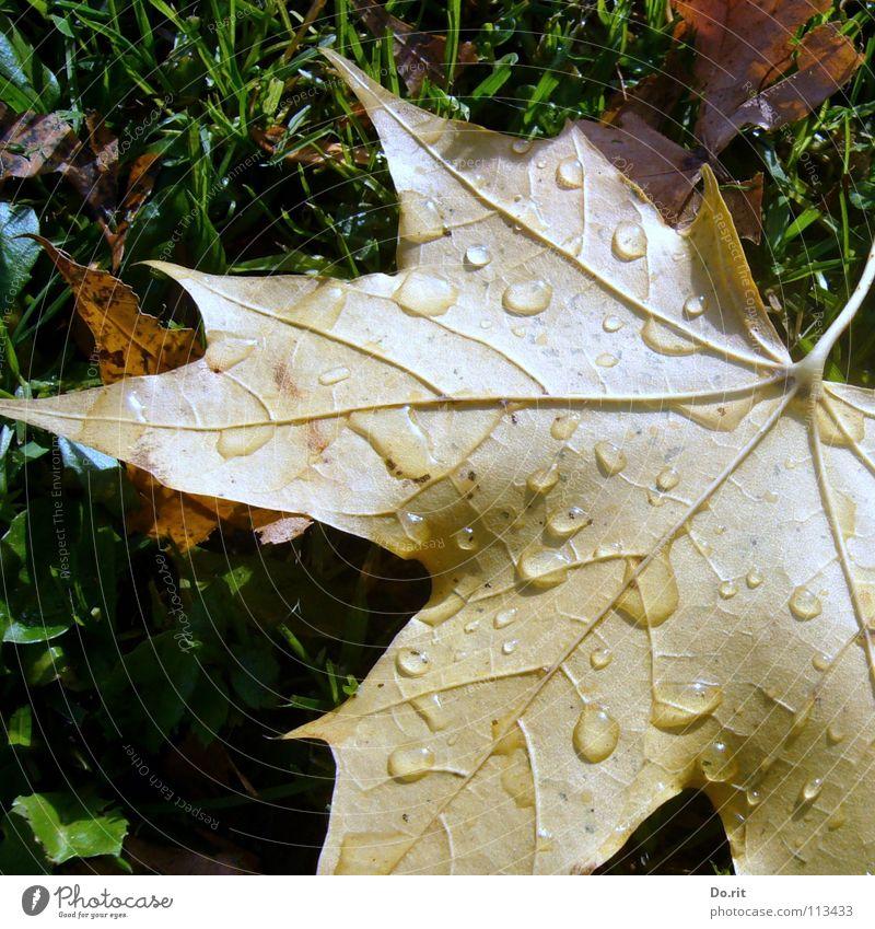 Abschied vom Herbst Schatten Wassertropfen Regen Gras Blatt kalt braun gelb grün Vergänglichkeit Ahorn Ahornblatt November Herbstlaub Rasen Gefäße