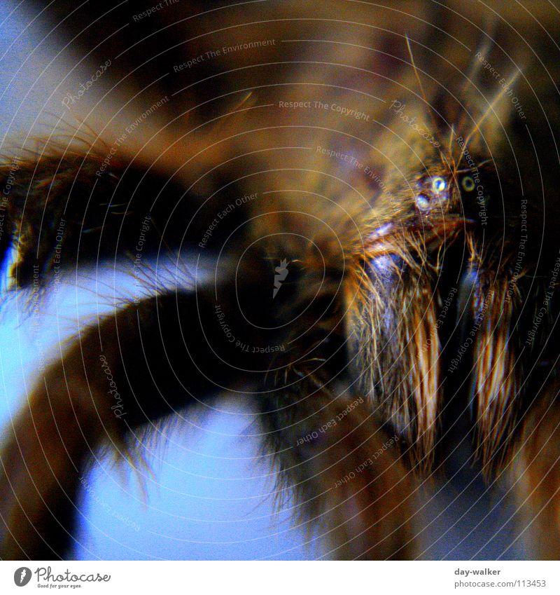 Arachnophobia blau Auge Tier Haare & Frisuren Beine gefährlich bedrohlich nah Spinne Gift Werkzeug Zange Vogelspinne