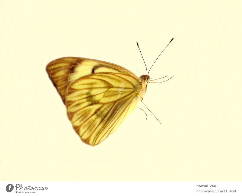 Butterfly gelb Insekt Tier Makroaufnahme Schmetterling Freisteller Vor hellem Hintergrund Fühler