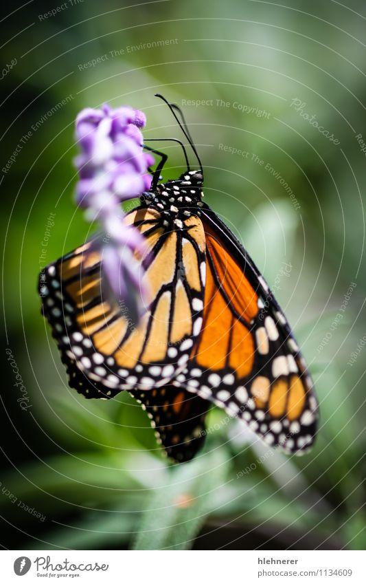Natur Pflanze schön grün Farbe weiß Blume ruhig Tier schwarz natürlich Garten Flügel Beautyfotografie Gelassenheit Insekt