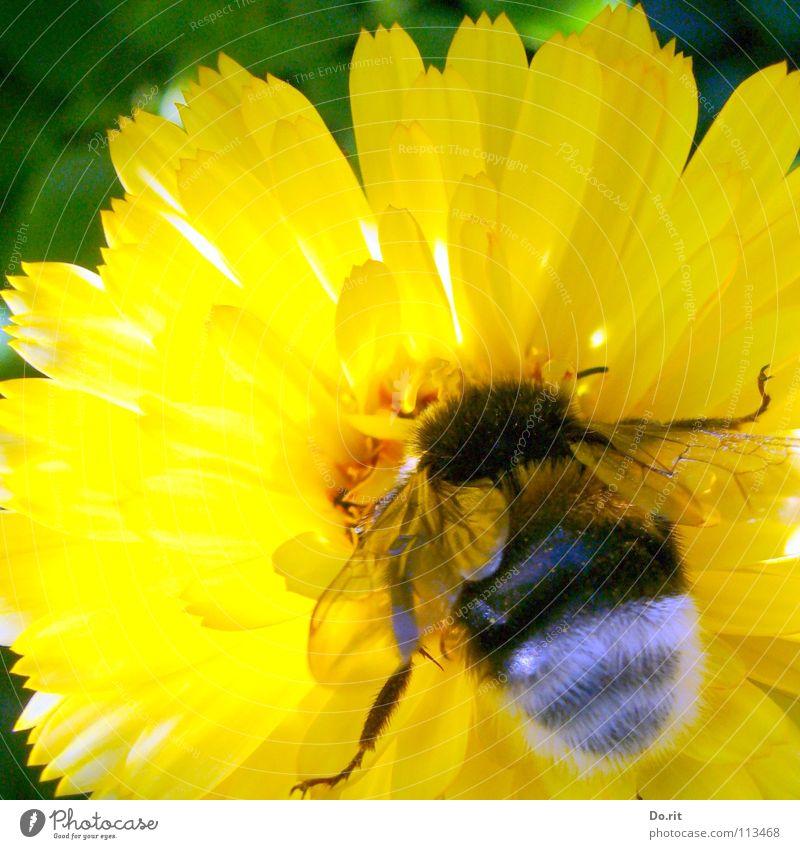 Hummelmahlzeit grün Sommer Blume gelb Beine hell Beleuchtung Ernährung weich Insekt Biene kleben Ringelblume Fertilisation grün-gelb