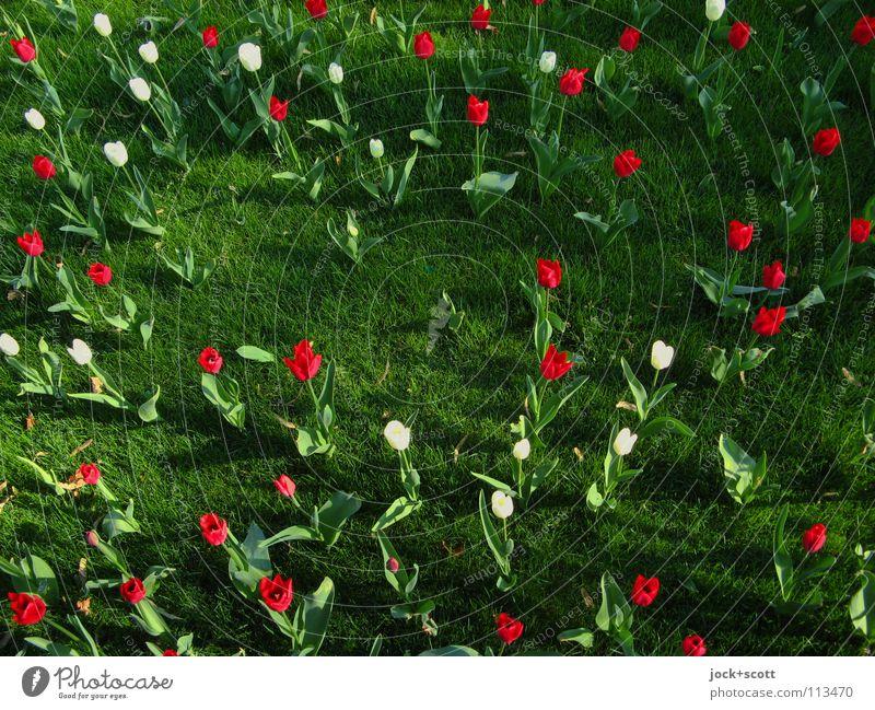 Noch bunter Treibens die Hybriden Pflanze Blume Tulpe Wiese Blühend Fröhlichkeit frisch schön positiv Wärme grün Stimmung Zufriedenheit Frühlingsgefühle