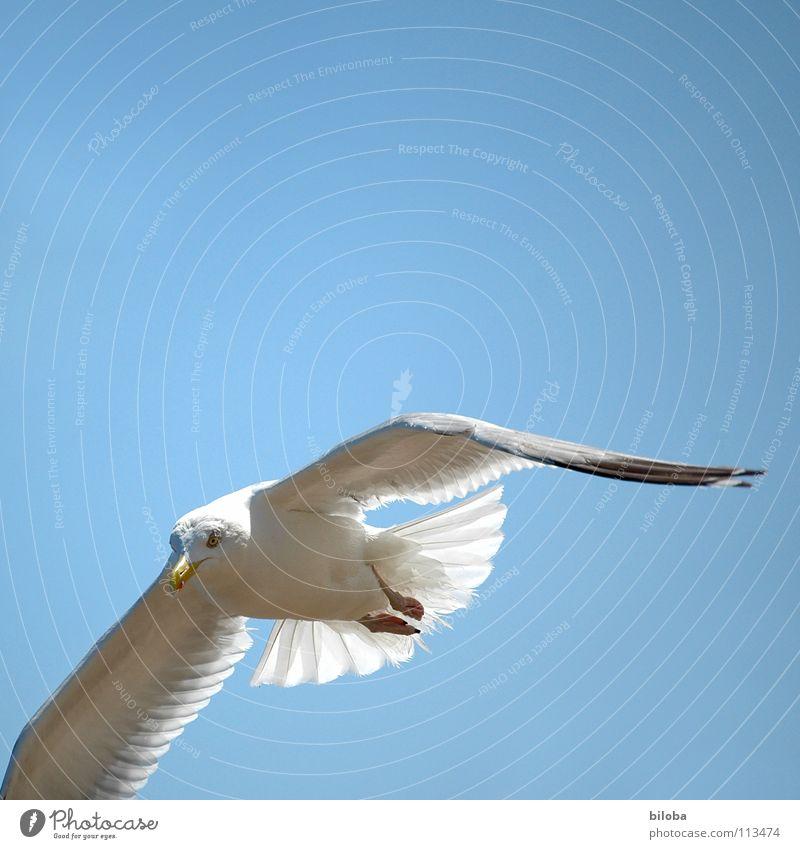 Tiefflieger Möwe weiß schwarz tief unten Meeresvogel Vogel Tier Federvieh Unendlichkeit schön stahlblau Außenaufnahme Möve Möven unten durch elegant Seevogel