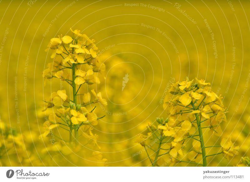 gelber Traum Pflanze Sommer gelb Feld Erdöl Raps