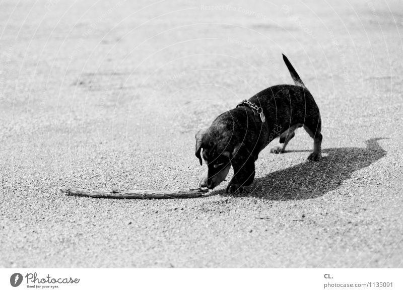 wurfmaterial Freizeit & Hobby Spielen Schönes Wetter Tier Haustier Hund Dackel 1 Boden Ast niedlich Tierliebe Schwarzweißfoto Außenaufnahme Menschenleer