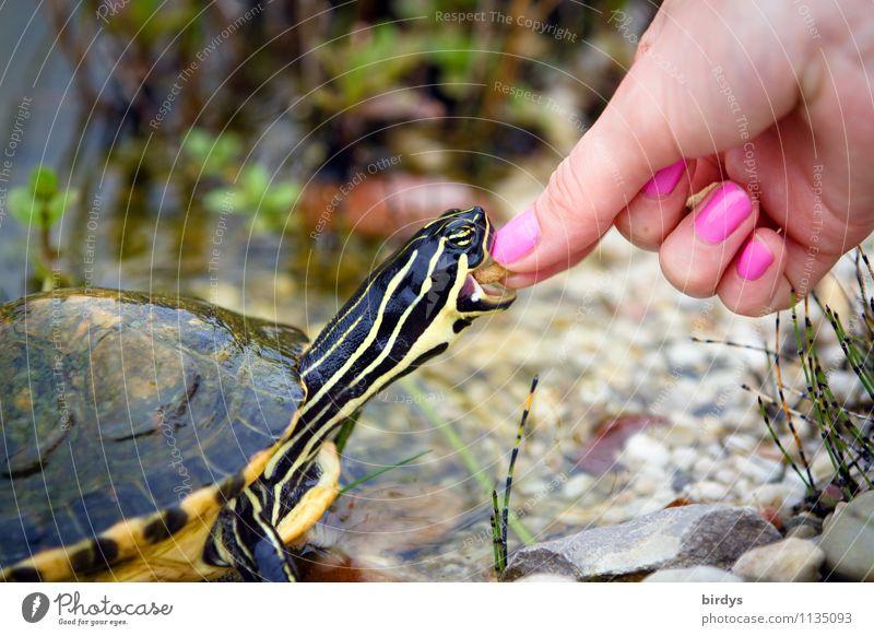 handzahm elegant Stil Nagellack Junge Frau Jugendliche Hand 1 Mensch Haustier Schildkröte Wasserschildkröte Tier Fressen füttern ästhetisch außergewöhnlich