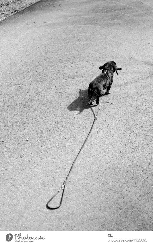fluchtversuch Schönes Wetter Wege & Pfade Tier Haustier Hund Dackel 1 Hundeleine laufen niedlich Tierliebe Treue Ziel flüchten Fluchtgefahr Schwarzweißfoto