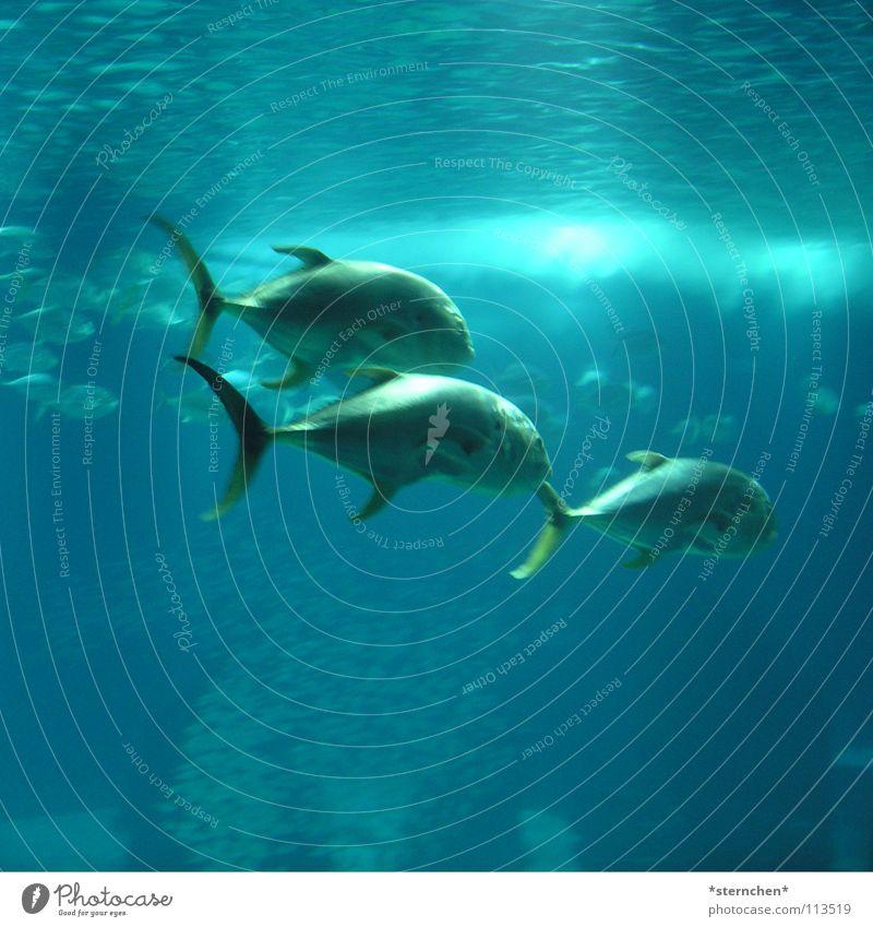 Trio Wasser Meer blau 3 Fisch Aquarium Schwimmhilfe Schwarm