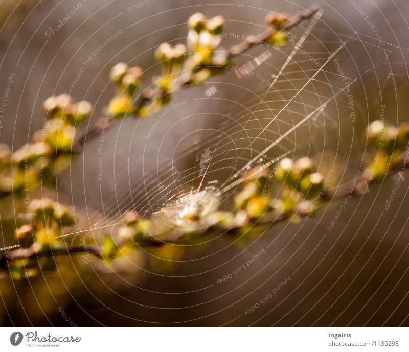Spannung Natur Pflanze Tier Frühling Zweige u. Äste Spinne Spinnennetz Netz bauen hängen dünn natürlich braun gelb grün Inspiration Leichtigkeit Netzwerk
