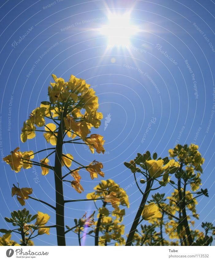 Bald!!! Du!!! Raps gelb Pflanze Landwirtschaft Rapsanbau Luft Umwelt Himmel Frühling Sommer März Sonnenstrahlen Ackerbau Nutzpflanze Natur Außenaufnahme