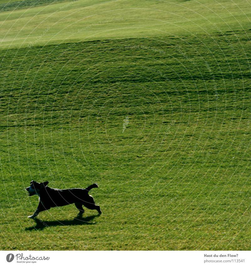 köter mit ball Hügel Golfplatz gepflegt Plage grün Desaster Schade Ärger töten Wiese Halm Hund schwarz Geschwindigkeit Angelrute Schwanz Schweiz