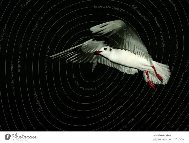 Nachtmöwe Himmel Meer Strand dunkel Vogel fliegen Luftverkehr Möwe Tier Nachtaufnahme Lachmöwe
