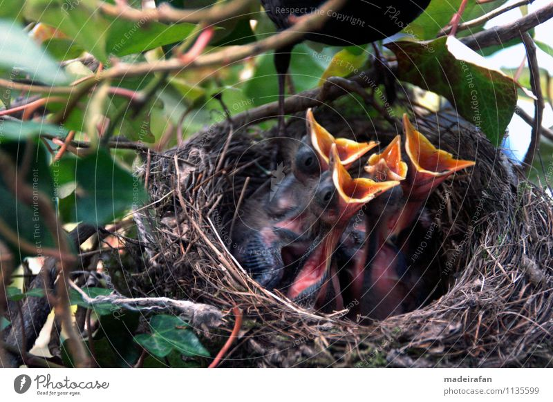 Amselkükenquartett-bettelt-Amselhahn-um-Fressen-MG_1270 Natur Tier Tierjunges Liebe Frühling Gesundheit Essen klein Vogel wild Wildtier authentisch beobachten
