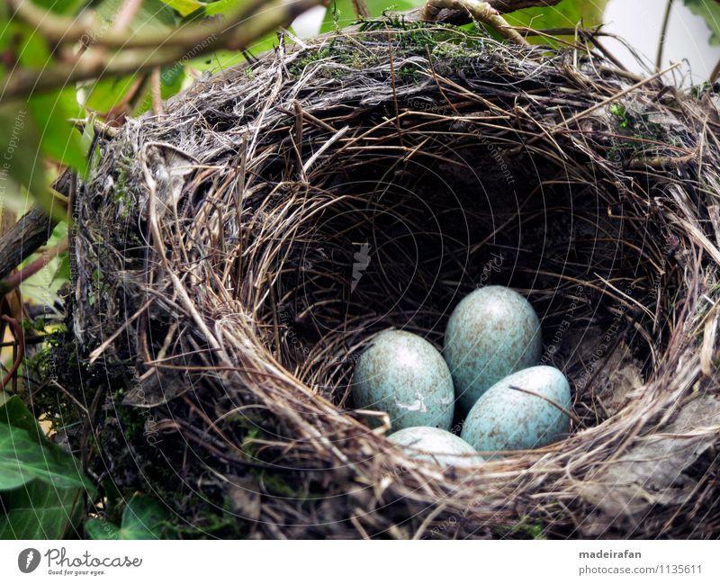 Vier-Amseleier-im-Amselnest-AW-Ei-4-IMG_1919 Natur blau schön Tier Umwelt Frühling feminin Glück grau außergewöhnlich braun Vogel Wachstum authentisch Beginn