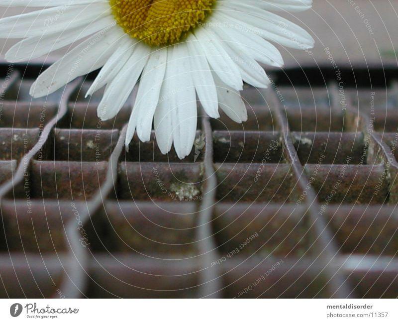 FlowerPower Natur weiß Blume Pflanze Kraft liegen fallen Quadrat Stahl Rost Eisen Staub Pollen Gitter Rechteck