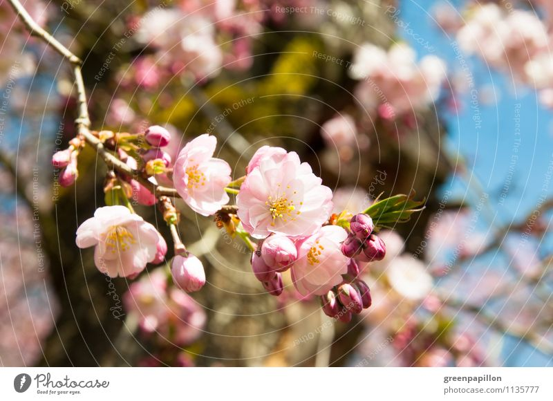 Frühlingsbrise Wellness Duft Umwelt Natur Landschaft Pflanze Himmel Klima Wetter Schönes Wetter Baum Blüte Grünpflanze Nutzpflanze Wildpflanze Kirsche