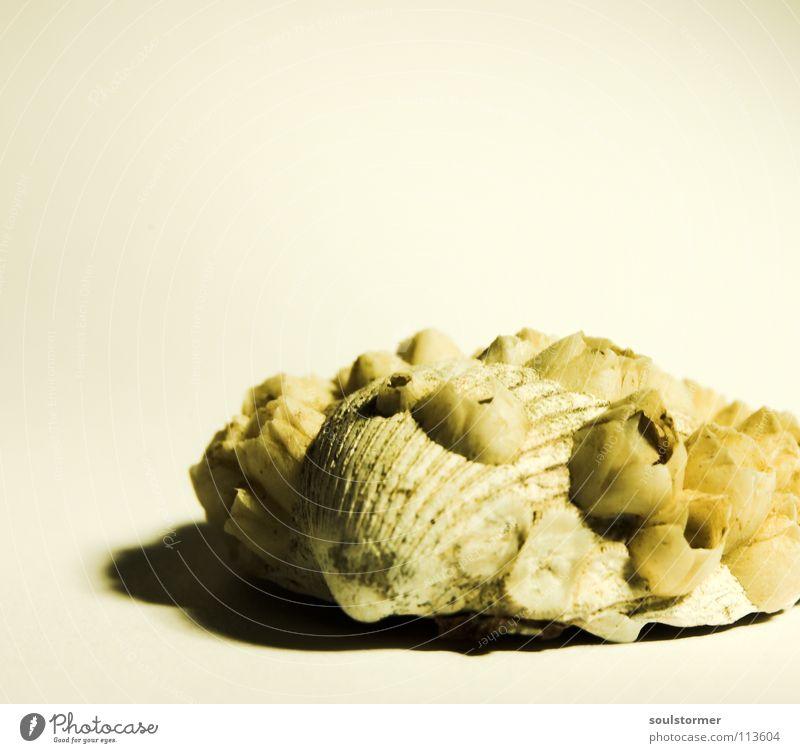 noch eine Muschel... Meer Tier Ernährung gefährlich böse See Lebewesen Geschwindigkeit klein Licht Panik Einsiedlerkrebs Stock weiß Strand Meeresfrüchte Nachbar