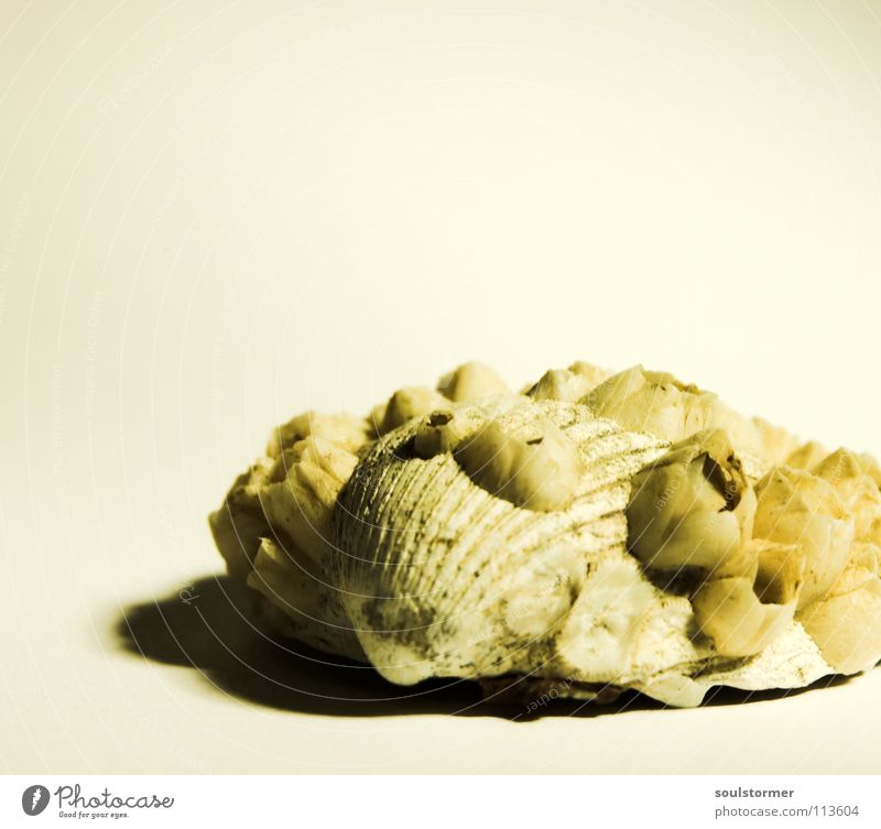 noch eine Muschel... weiß Meer Strand Tier Auge Tod Küste klein Sand See Angst Lebensmittel Design Geschwindigkeit gefährlich Ernährung