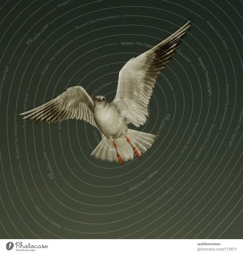 kleine Abendmöwe Himmel Meer Strand dunkel Vogel fliegen Luftverkehr Feder Flügel Möwe Schnabel Tier Lachmöwe