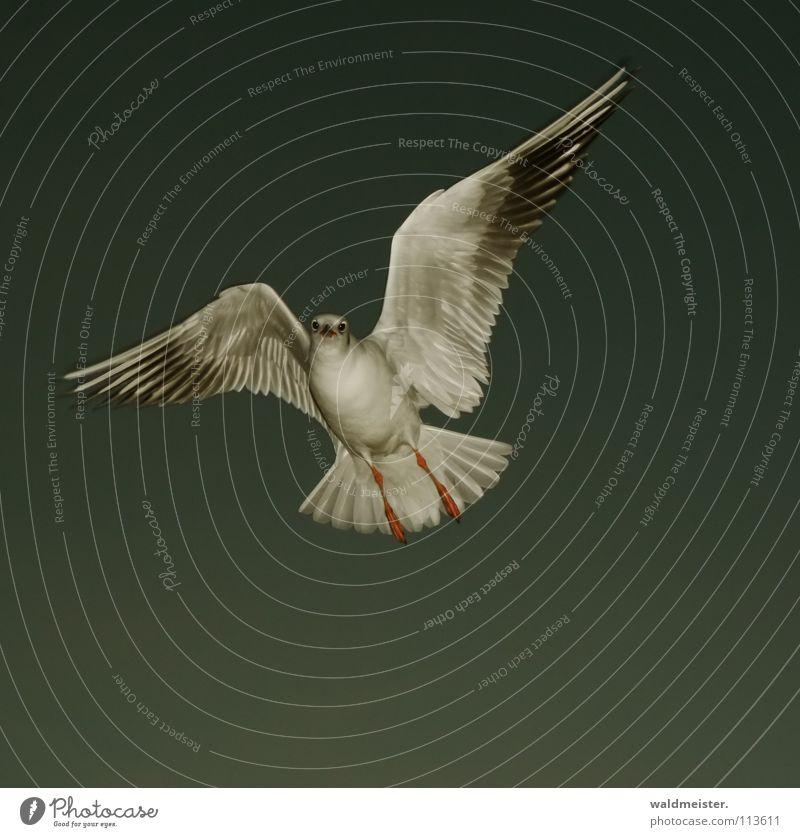 kleine Abendmöwe Möwe Lachmöwe Vogel Feder Schnabel Meer Strand dunkel Möve Himmel Luftverkehr fliegen Flügel