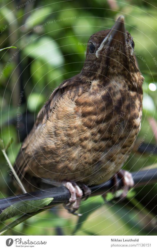 Auf der Stange Frühling Sommer Wildtier Vogel Amsel 1 Tier Tierjunges beobachten hocken hoch niedlich braun grün Tierliebe Fotografie Feder Stab Schnabel
