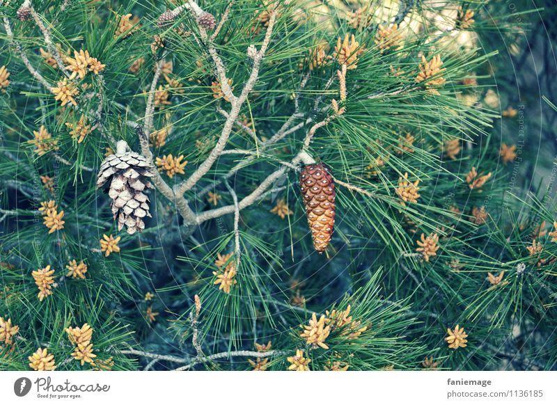 Zapfen Umwelt Natur Pflanze kalt stachelig Nadelbaum Allauch Südfrankreich mediterran Mittelmeer Marseille Provence Pinie Samen Zweig Zweige u. Äste grün orange