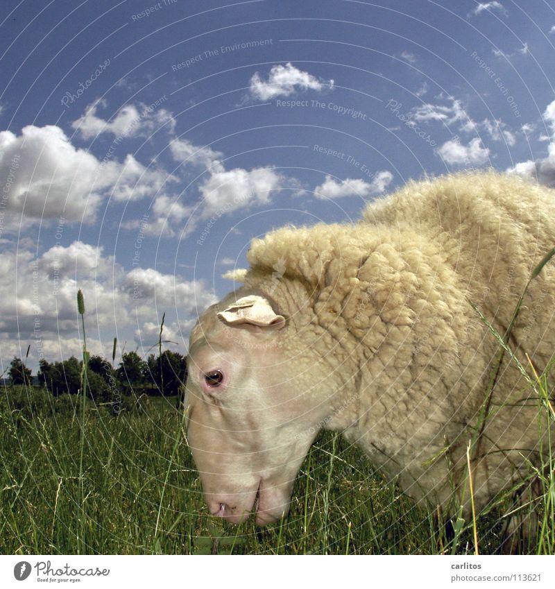 ddsld schön Freude ruhig niedlich Fell einzeln Tiergesicht Weide Schaf genießen Halm Fressen harmonisch Wolle Viehzucht