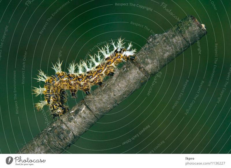 in der Chefbranche Sommer Garten Natur Weiche Behaarung wild blau braun gelb grau grün schwarz Farbe Raupe Ritterfalter Italien Holz Fleck Insekt Auge Pfoten