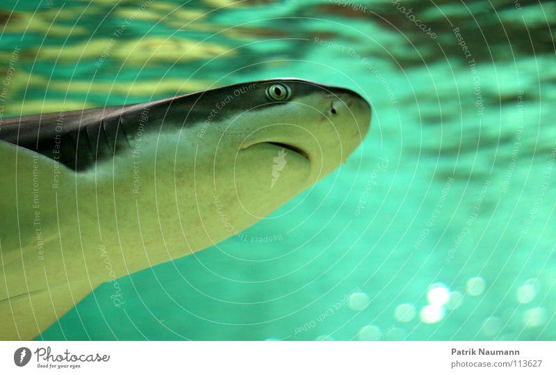 es lauert in der Tiefe Wasser Meer See Angst Fisch gefährlich bedrohlich tauchen Lebewesen Jagd türkis Dieb Surfer Haifisch Jäger Unterwasseraufnahme