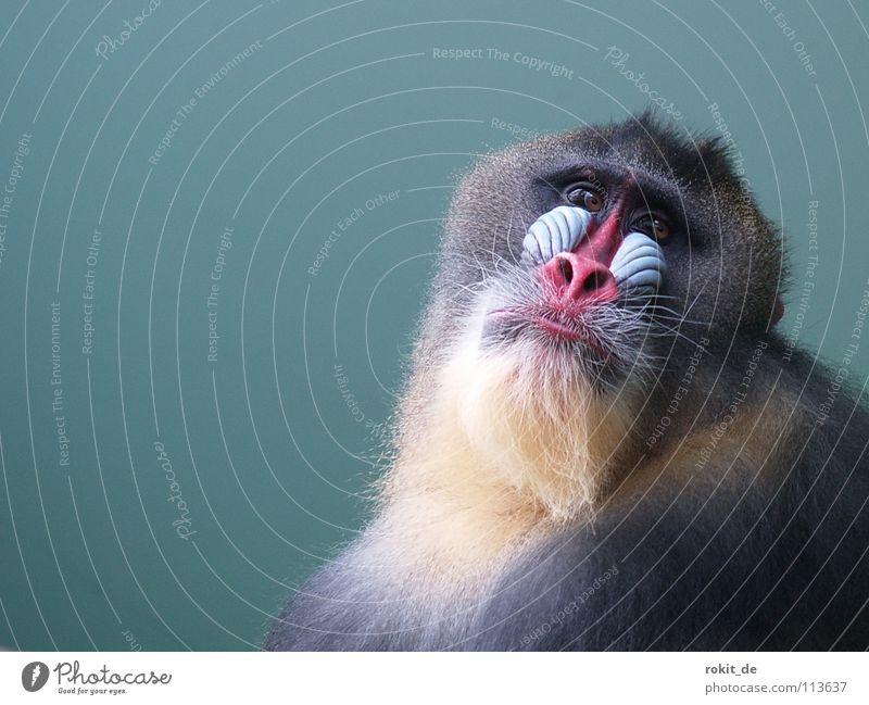Geh Alte schau mich nicht so deppert an! alt rot Freude Auge Traurigkeit mehrere Nase Ecke Trauer Fell Afrika Zoo Bart Bauch Säugetier Affen
