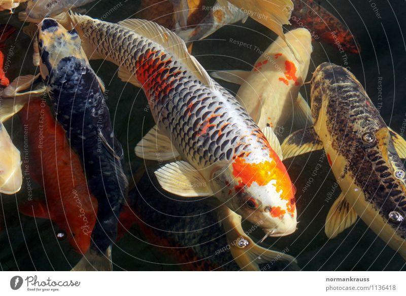 Kois Tier Haustier Fisch Schuppen Tiergruppe Schwarm Wasser Schwimmen & Baden Erotik nass exotisch Farbe mehrfarbig Gartenteich Zierfische farbvariante Flosse