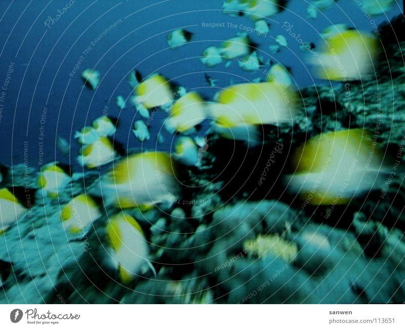 gemeinschaftliche flossenbewegung Unterwasseraufnahme Fischschwarm Zusammensein Meer Meeresboden gelb dunkel Bewegung Wasser Schwarm blau Unschärfe