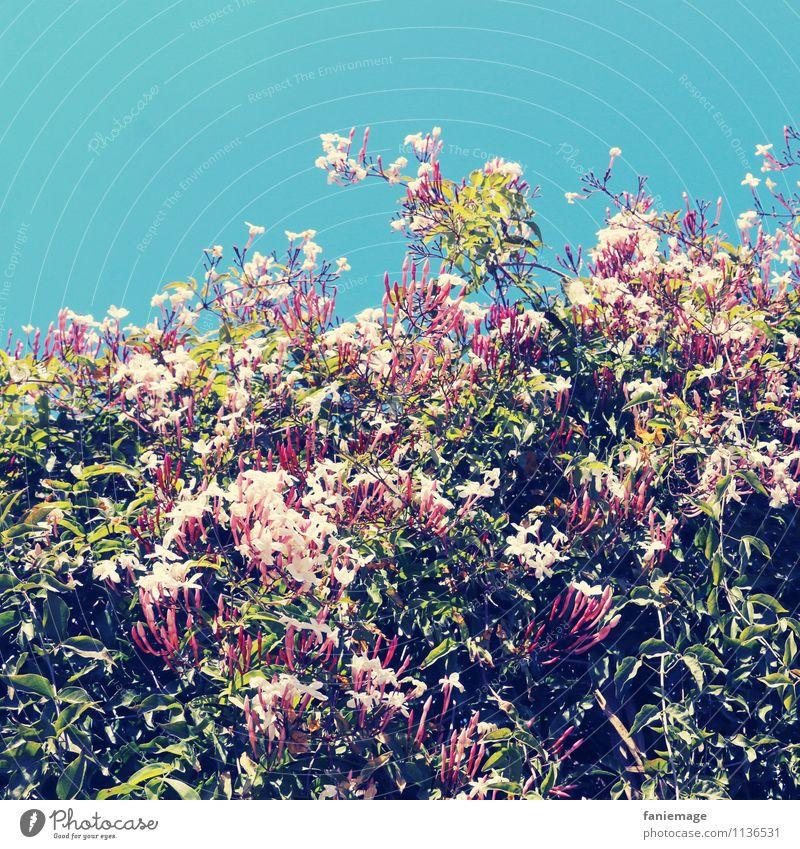 jasmin Umwelt Natur Pflanze Himmel Wolkenloser Himmel Frühling Sommer Schönes Wetter Blume Blüte Garten Park Duft Parfum mediterran Südfrankreich Provence