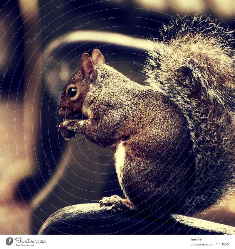 Mjam Mjam Mjam 2 Ernährung Erholung Tier Pfote klein lecker süß Appetit & Hunger Gier egoistisch Eichhörnchen Nagetiere Säugetier squirrel Bank Farbfoto