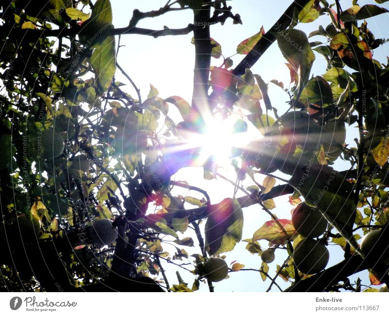 Apfelsonne Sonnenstrahlen Baum Apfelbaum Blatt schön Frucht Herbst Lichterscheinung Beleuchtung Ast Natur Himmel