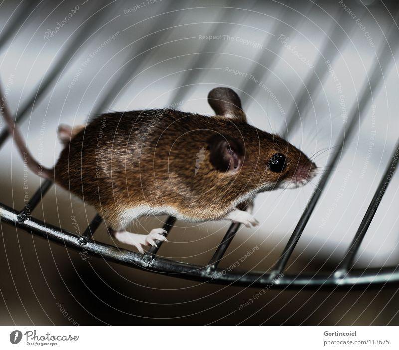 Lauf, Mäuschen! Tier braun klein laufen rennen Tiergesicht Fell niedlich Maus Säugetier Pfote Haustier Nagetiere Käfig winzig Knopfauge