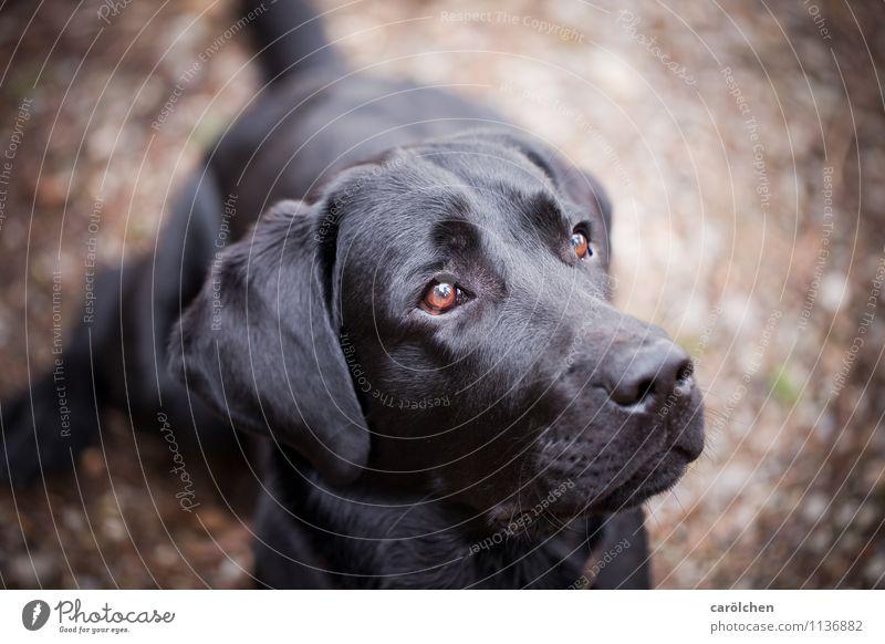 all you need Tier Haustier Hund Tiergesicht 1 sitzen träumen braun schwarz gehorsam Wachsamkeit lieblich Blick Labrador Farbfoto Nahaufnahme Textfreiraum rechts