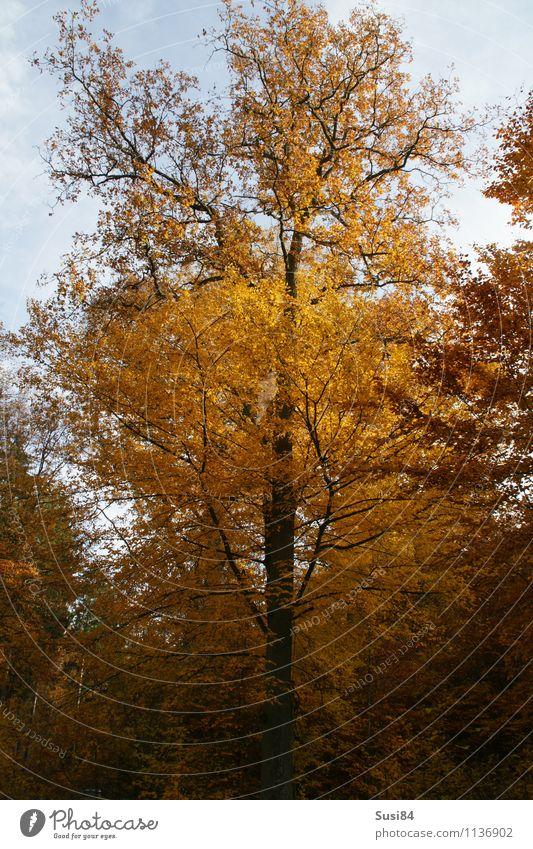 Herbstlaub Natur Pflanze Baum Blatt Wildpflanze Herbstfärbung Buche Buchenwald Wald alt dehydrieren Wachstum ästhetisch nachhaltig natürlich schön gold