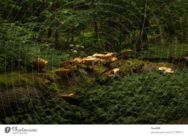 Pilzkolonie Natur Pflanze Baum Sträucher Grünpflanze Wildpflanze Totholz Wald Duft Wachstum nachhaltig natürlich grün Einsamkeit Beginn Ende Erholung Hoffnung
