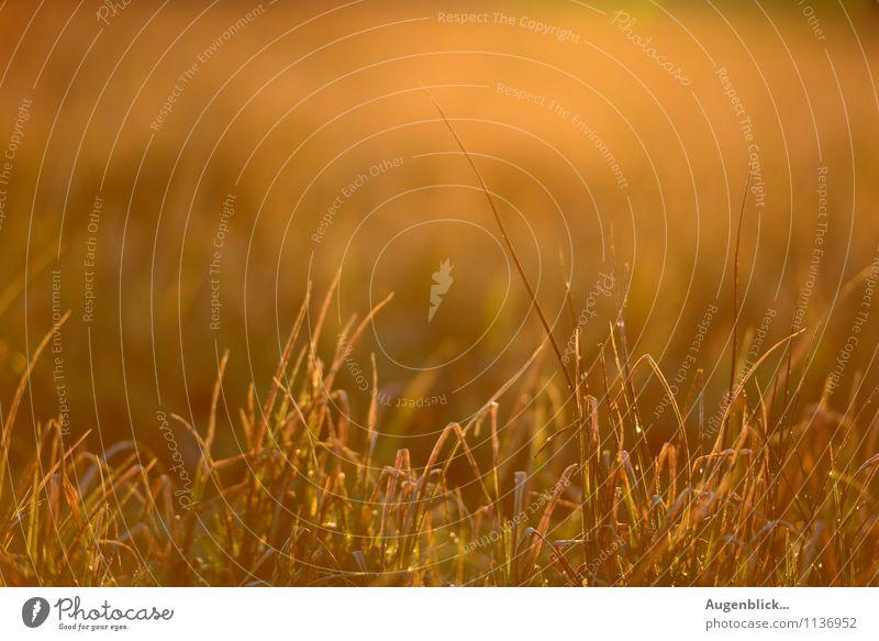 Morgenstund' ... Natur Frühling Schönes Wetter Feld glänzend saftig Wärme gold ruhig Idylle Zufriedenheit Textfreiraum oben Morgendämmerung Sonnenlicht