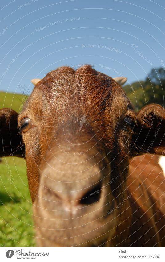 Auch nicht von rokit.... Ziegen Tier Wiese behüten Schweiz Kanton Graubünden Ziegenfell Gras Alm vertraut grün Bergwiese Zicklein Gesellschaft (Soziologie) nah